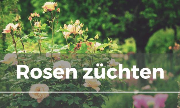Rosen züchten